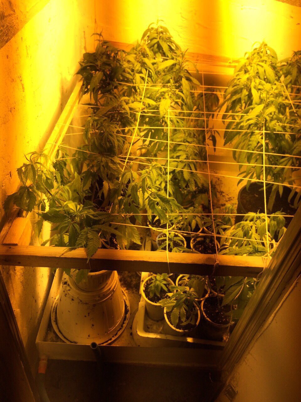 Младеж отглеждал марихуана в село Тъжа Публикувано в Pavelbanya.eu